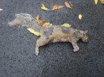 dead squirril